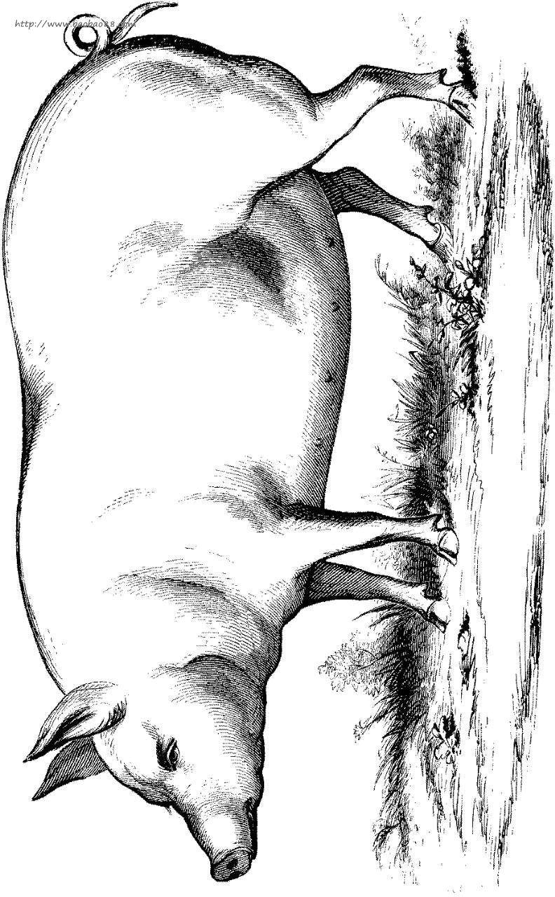 简笔画- 儿童动物简笔画-肥胖的小猪