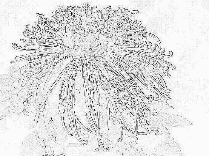 铅笔画-美丽的菊花